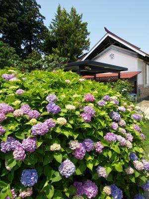 紫陽花@はなはなさんのお庭
