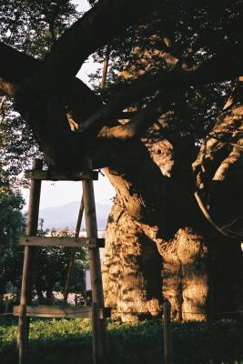 高瀬の大ケヤキ@神指城跡