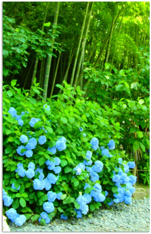blueajisai.jpg