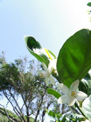 みかんの花H24.3.29