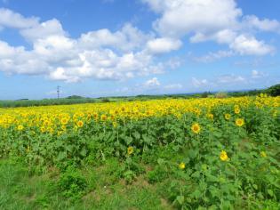 2012.7ひまわり畑1