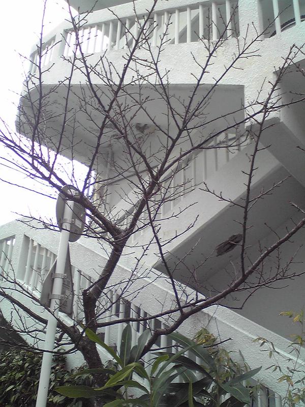 110107  職場桜