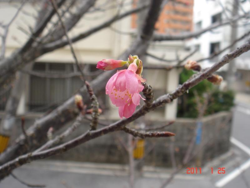 110125  桜 のコピー