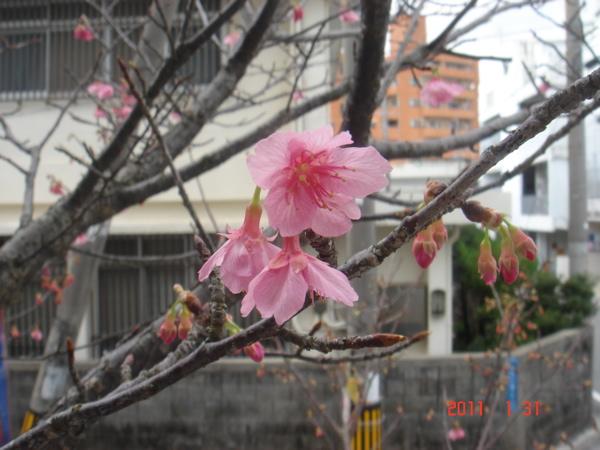 110131  桜1
