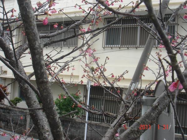 110131  桜2