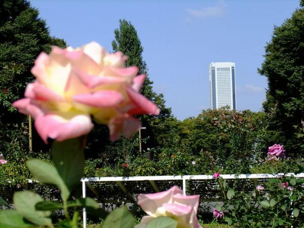 代々木公園 バラ園6〔フリー写真〕