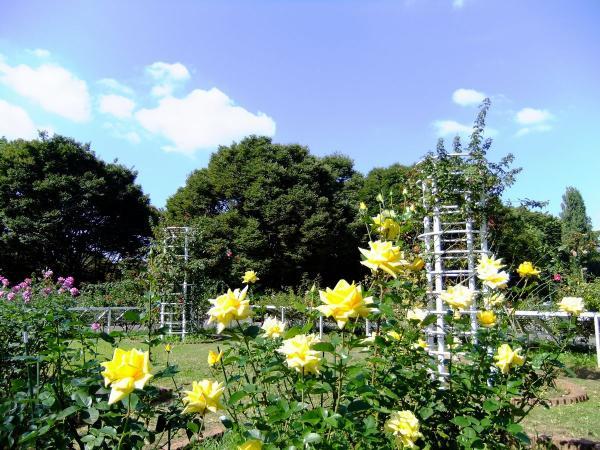 代々木公園 バラ園12〔フリー写真〕