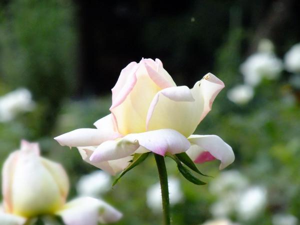 花の写真2〔フリー写真〕