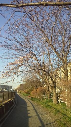 散歩道の桜