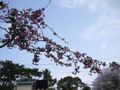 桜に刺さってる
