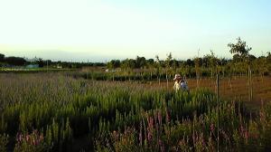 20120629ラベンダー畑2