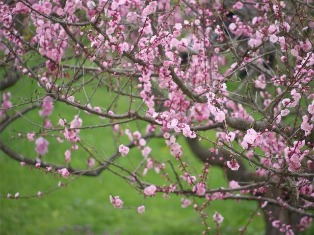 ume-blossom-hiraoka-park_01t.jpg.jpg