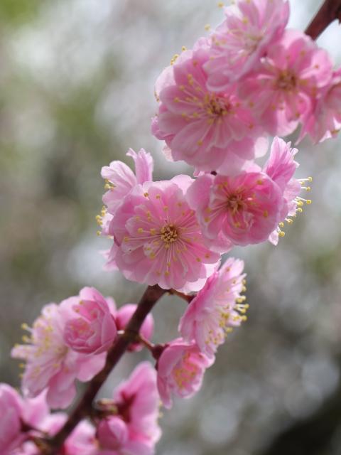 ume-blossom-hiraoka-park_04t.jpg.jpg