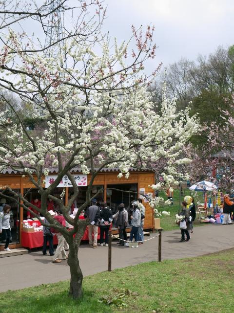 ume-blossom-hiraoka-park_05t.jpg.jpg