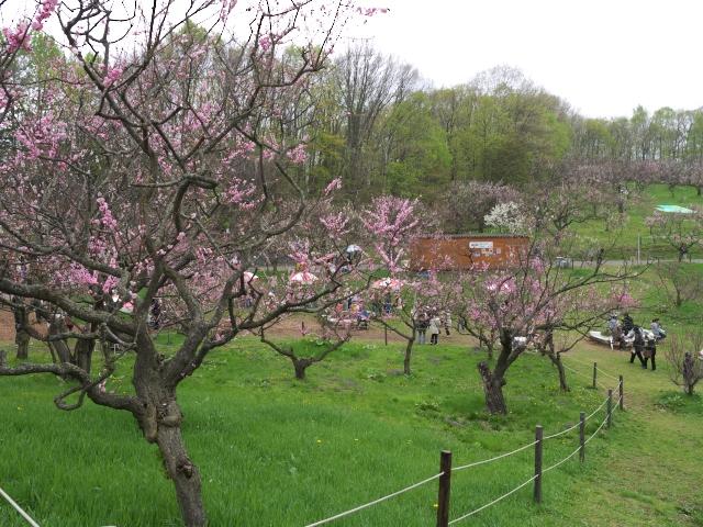 ume-blossom-hiraoka-park_07t.jpg.jpg