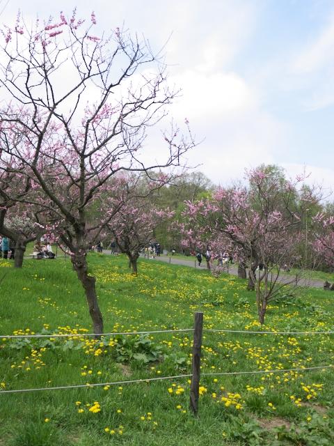 ume-blossom-hiraoka-park_12t.jpg.jpg