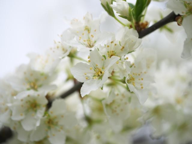 ume-blossom-hiraoka-park_14t.jpg.jpg