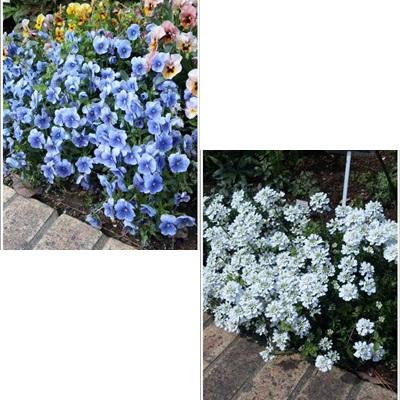青と白の花