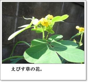 エビス草1