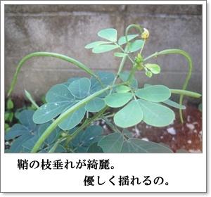 エビス草2