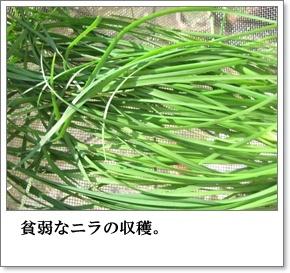 ニラの収穫1
