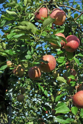 2008-1012-リンゴ