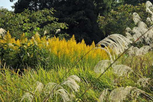 2008-1021-ススキと黄色い花