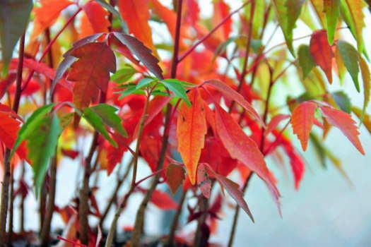 2008-1108-盆栽紅葉
