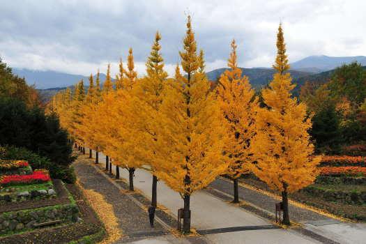 2008-1112-銀杏並木1
