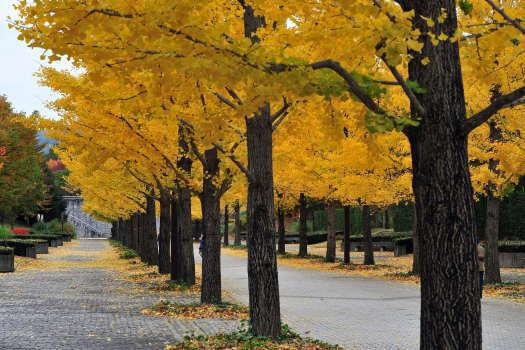 2008-1112-銀杏並木2