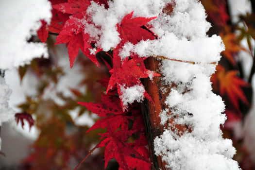 2008-1121-雪の紅葉