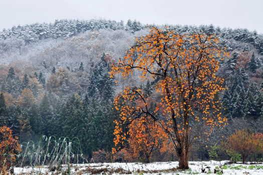 2008-1122-柿の木