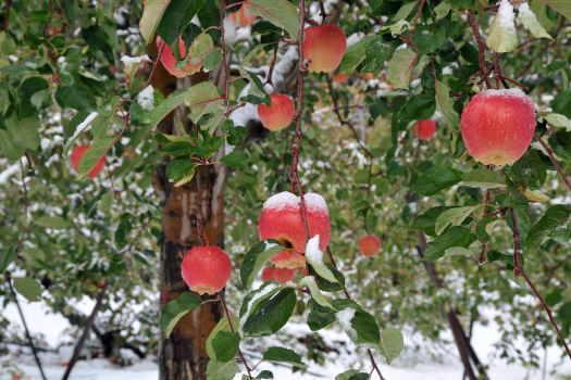 2008-1126-リンゴ1