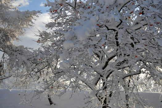 2008-1209-雪と柿1