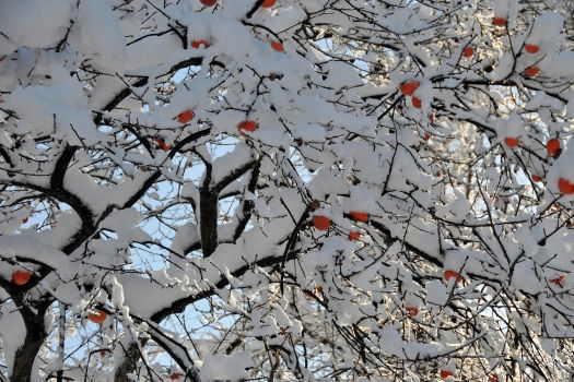 2008-1209-雪と柿2