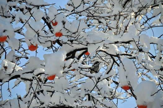 2008-1209-雪と柿3