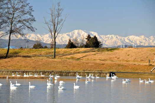 2008-1224-白鳥