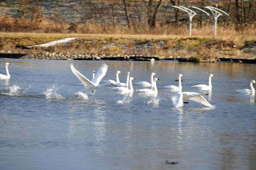 2008-1226-白鳥1