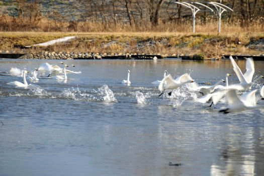 2008-1226-白鳥2