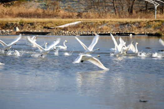 2008-1226-白鳥3