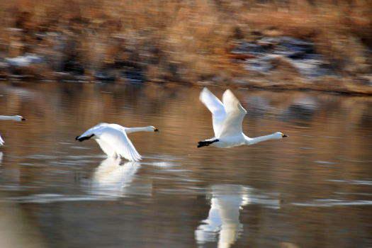 2008-1229-白鳥1