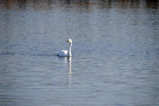 2008-1229-白鳥3