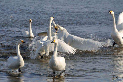2009-0116-白鳥1