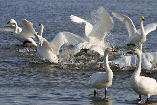 2009-0116-白鳥2
