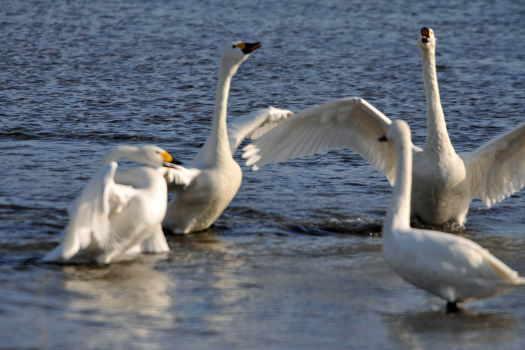 2009-0116-白鳥3