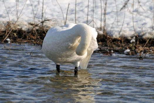 2009-0116-白鳥4