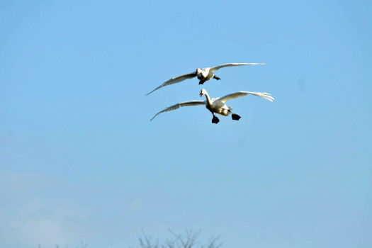 2009-0117-白鳥1