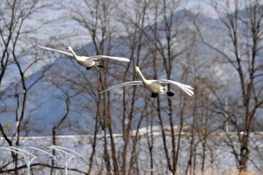 2009-0117-白鳥2