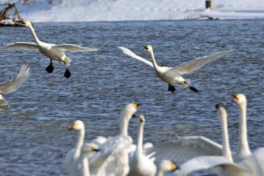 2009-0117-白鳥3