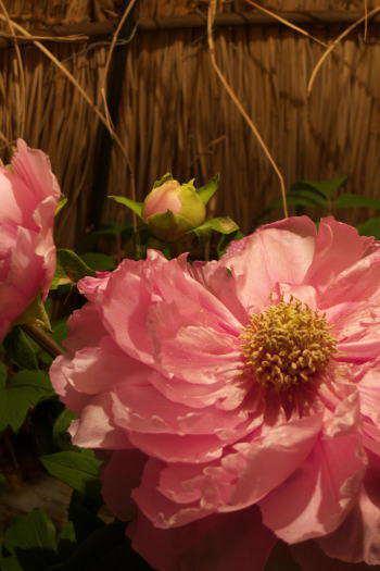 2009-0224-冬咲き牡丹